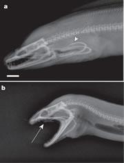 Moray eel double jaws