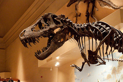 T-Rex, Natural History Museum